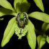Эфирное масло черной орхидеи