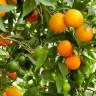 Эфирное масло сладкого апельсина (оранж)