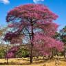 Эфирное масло «Розовое дерево»